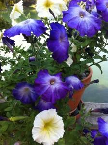 Petunias1-e1346415627473